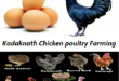 Kadaknath Chicken poultry Farming