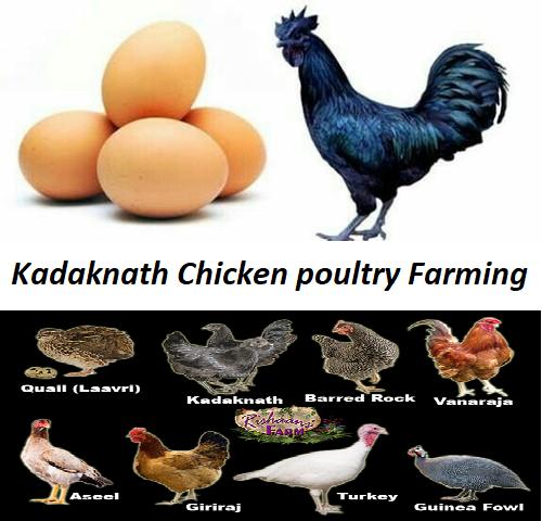 कड़कनाथ चिकन पोल्ट्री फार्मिंग