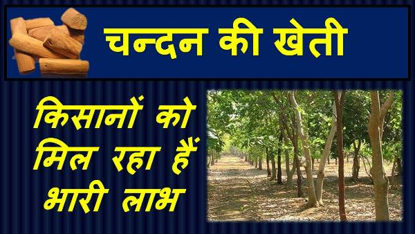 sandalwood farming