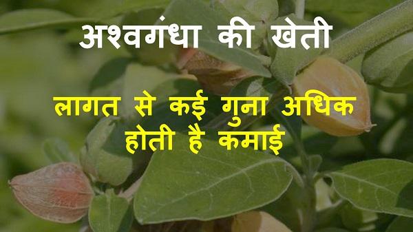ashwagandha farming in hindi