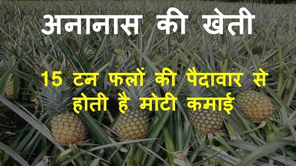 pineapple farming in hindi