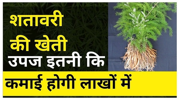 shatavari farming business in hindi