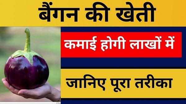 baigan ki kheti business in hindi
